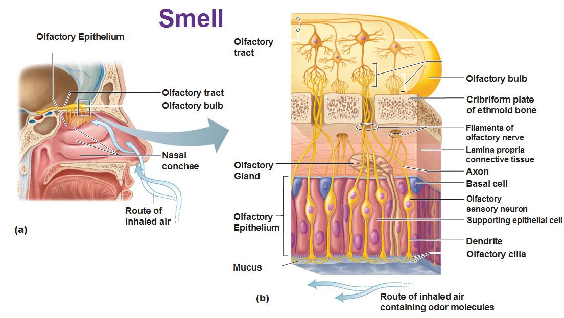 Chemical Sense: Smell (Olfaction)