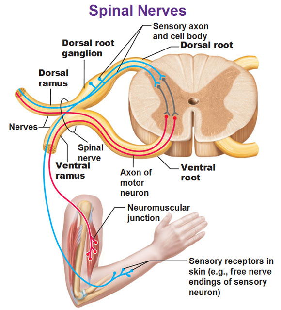 Dorsal Root Ganglion Function on MCAT | Student Doctor Network