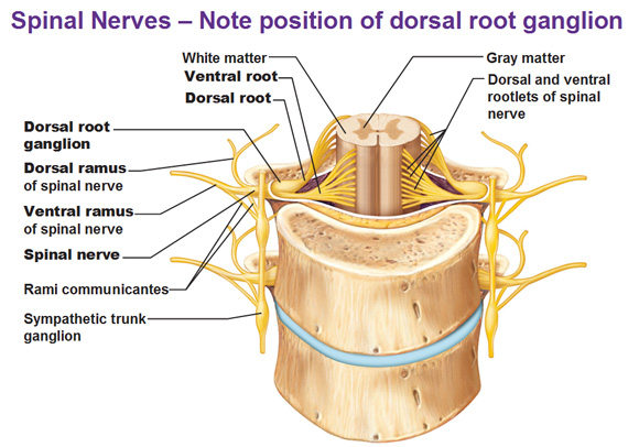 anterior rami of spinal nerves