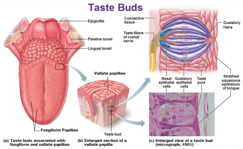 Chemical Sense Taste Gustation