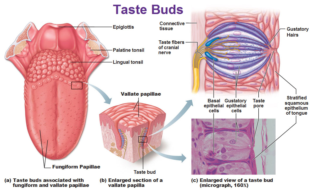 Chemical Sense: Taste (Gustation)