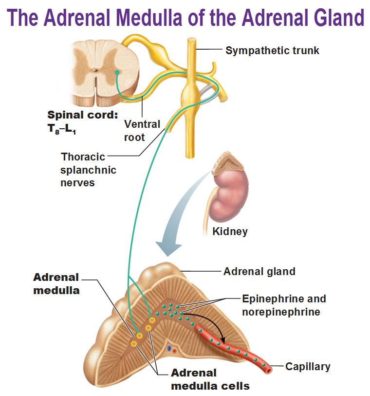 Adrenal Gland: The Autonomic Nervous System