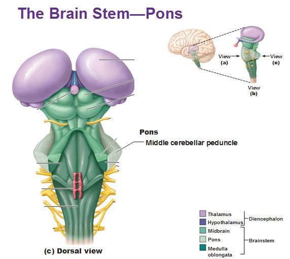 CNS: Intro to Brain and Ventricles, Medulla Oblongata, Pons, Mid ...