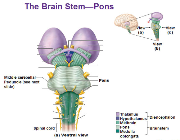 Cns intro to brain and ventricles medulla oblongata pons mid the mid brain ccuart Image collections