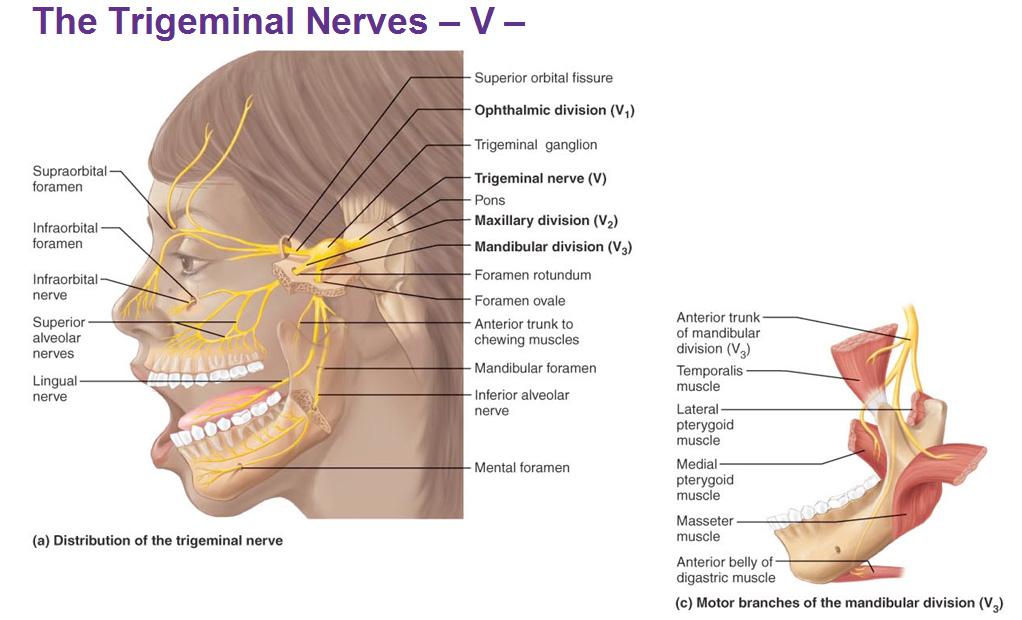 Associated facial nerves tooth