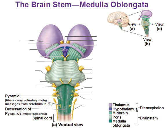 Cns Intro To Brain And Ventricles Medulla Oblongata Pons Mid