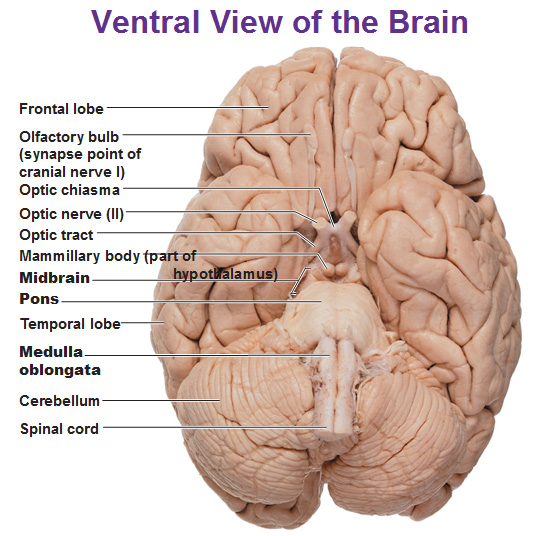 cns: intro to brain and ventricles, medulla oblongata, pons, mid, Cephalic Vein