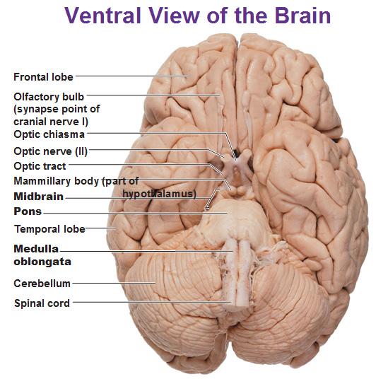 ventral view of the brain cerebellum medulla pons mid brain