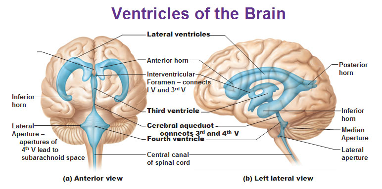cns: intro to brain and ventricles, medulla oblongata, pons, mid, Human body