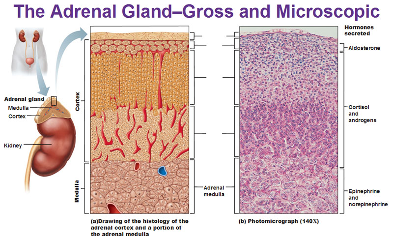 Theninesysteminourbodyph blogspot on where are your adrenal glands located