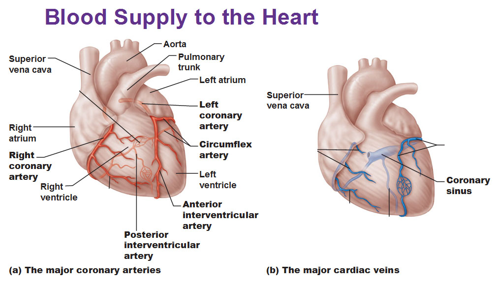 Blood Flow Of The Heart