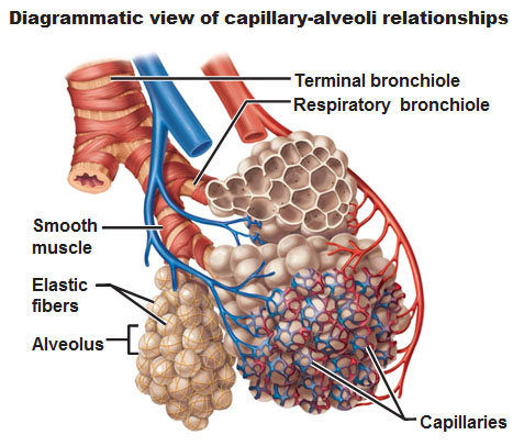 alveoli and capillaries relationship problems