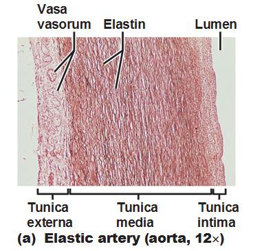 nitric oxide vasodilation