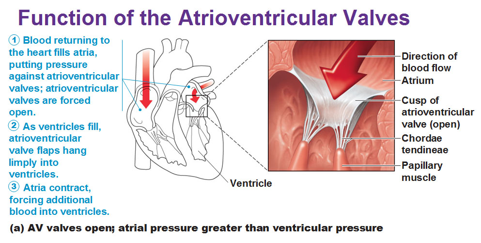 Function of the Atrioventricular and Semilunar Valves