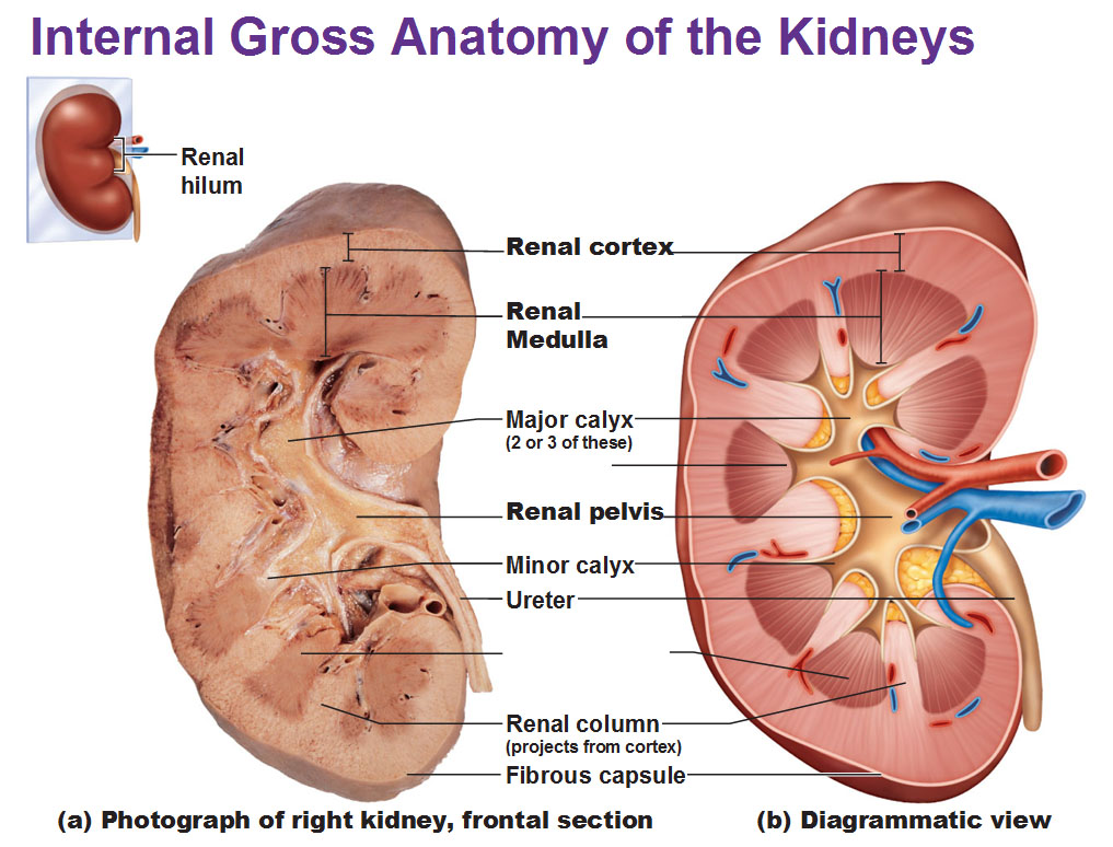 The Urinary System Kidneys