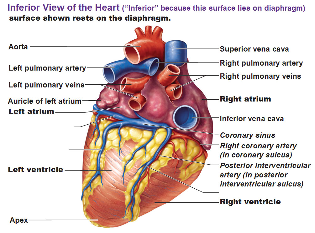 Where The Mind Is Biggest The Heart The Senses: Blood Flow Of The Heart