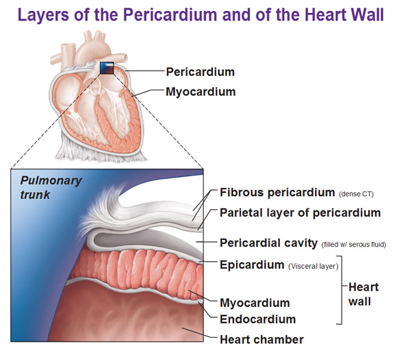 layers of the pericardium, heart wall and spiral arrangement, Cephalic Vein