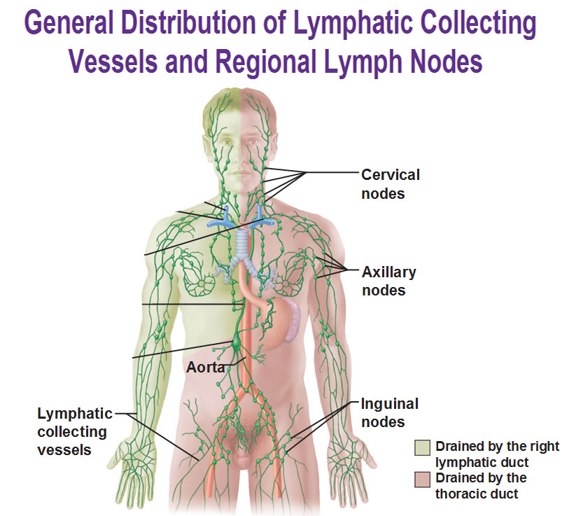 the role and importance of the lymphatic system