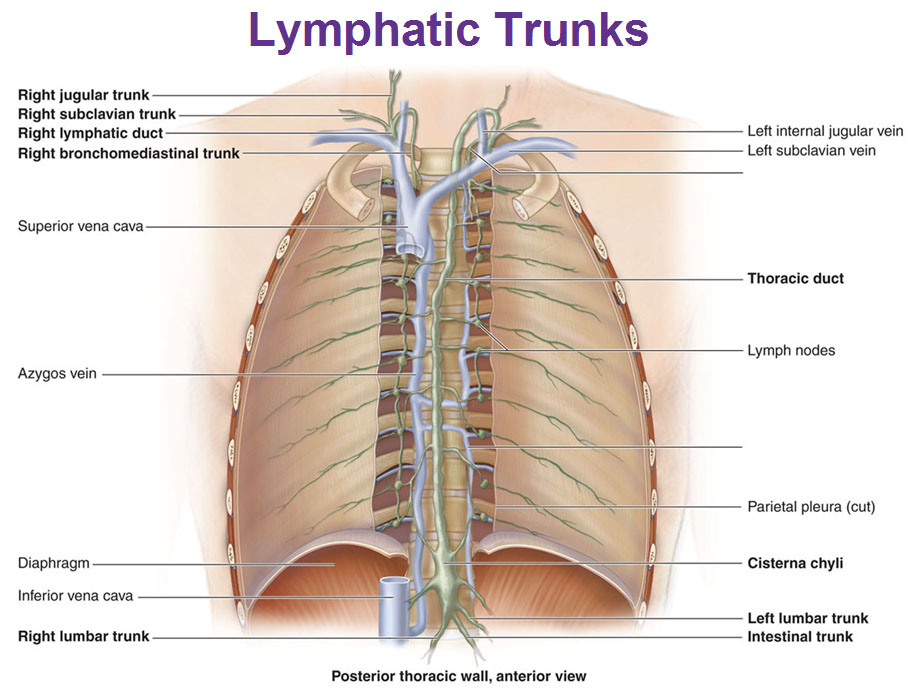 8821327 in addition 4698338 furthermore Antebrachium likewise 1283 Thorax Abdomen Anterior View Organs as well Lower. on posterior organs