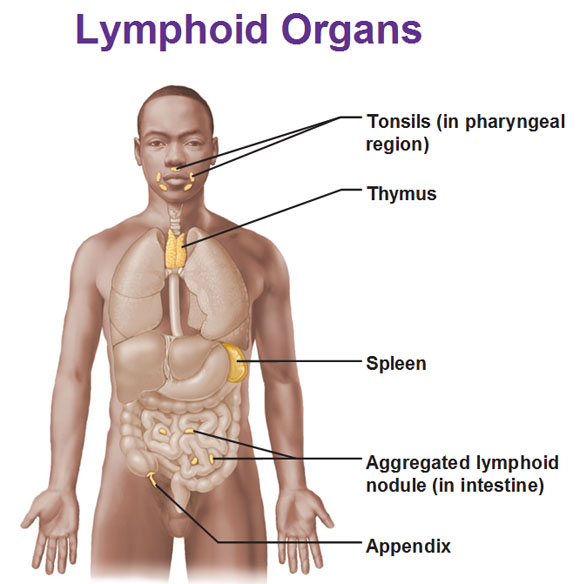 Lymphoid Organs Locations And Functions Red Bone Marrow Thymus