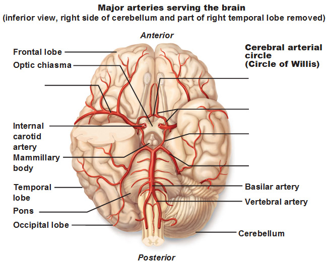 Results likewise Inferior Brain View furthermore Mesh info likewise 5726885 together with 10205010. on dorsal and ventral cavities worksheet