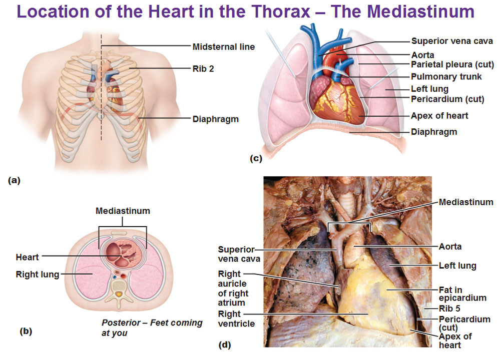 Representative colors of arteries and veins