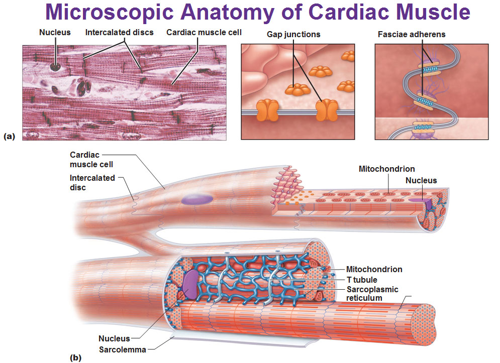 anatomy of a muscle cell essay You'll learn some general anatomy (a roadmap of your body) role of the sarcoplasmic reticulum in muscle cells anatomy of a skeletal muscle cell three types of muscle motor neurons neuromuscular junction, motor end-plate type 1 and type 2 muscle fibers.