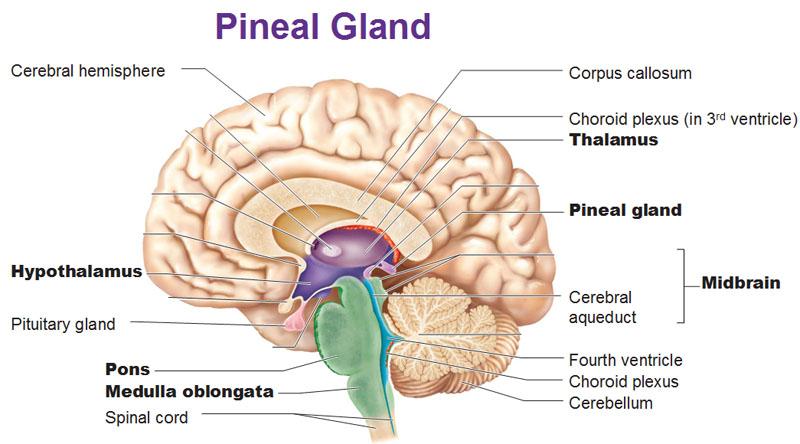 pineal-gland-thalamus-hypothalamus-pitui