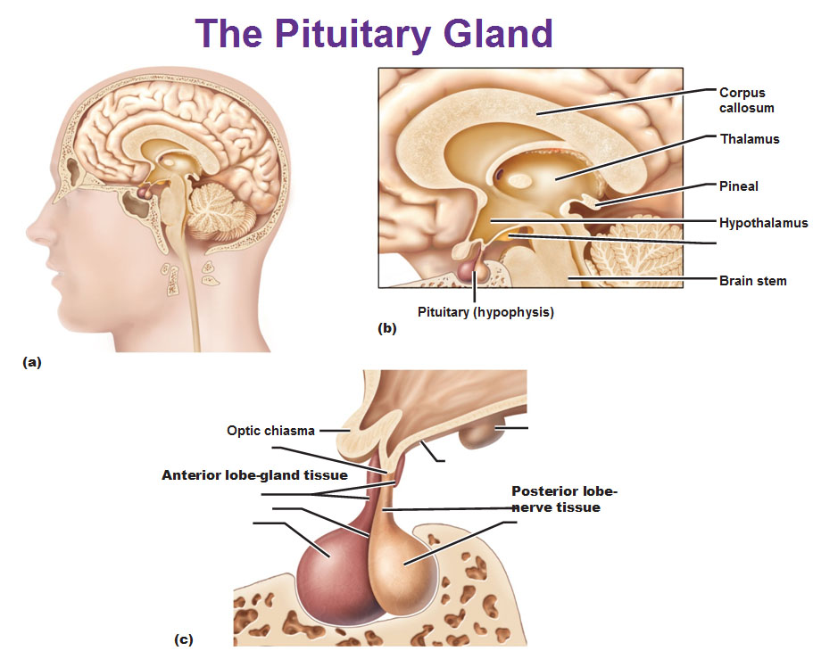 anterior pituitary gland on emaze, Human Body