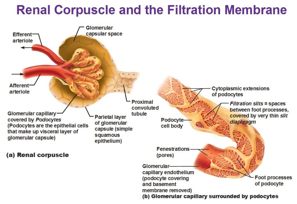 Renal Capsule renal corpuscle and fi...