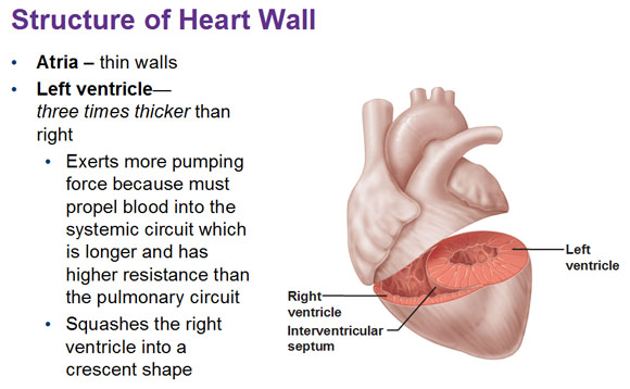 Blood flow of the heart blood supply to the heart ccuart Images