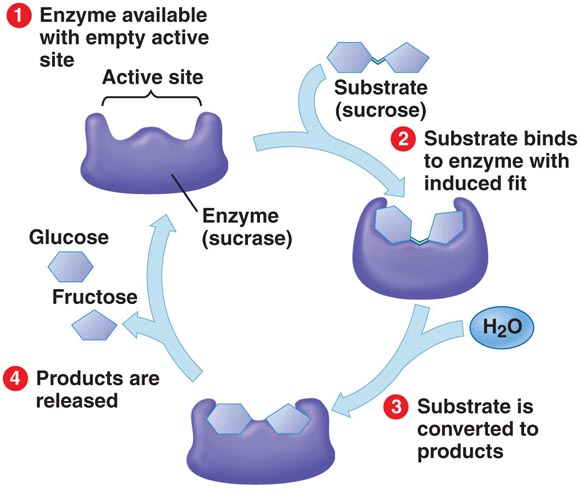 anabolic enzyme reactions