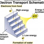 electron transport system is like a river