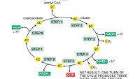 Cell Respiration Part 2: Aerobic Respiration (Transition Reaction & Kreb's Citric Acid Cycle)