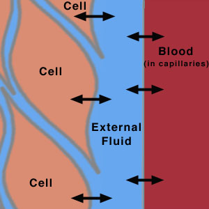 Fluid Compartments within the Human Body