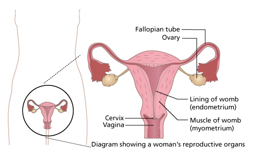 The menstrual cycle the egg is implanted nourished by blood vessels the thicker muscular layer is called the myometrium myo means muscle the cervix widens during ccuart Choice Image