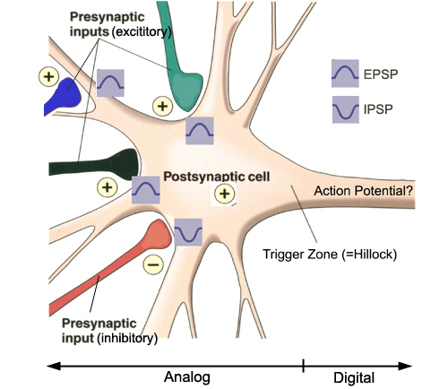how do postsynaptic potentials synaptic transmission and receptors affect behavior How does non-synaptic (intrinsic) plasticity work  what is the order of synaptic transmission how wide is a synaptic gap what is post-synaptic density.