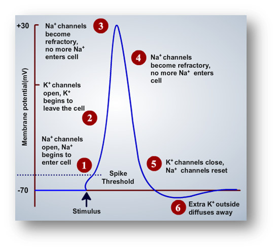 What Is An Action Potential Nerve Impulse