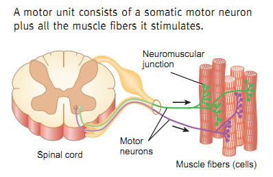 Synaptic transmission by somatic motorneurons What is lower motor neuron disease