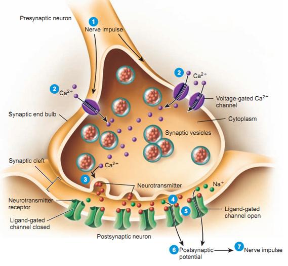external image synapse.jpg