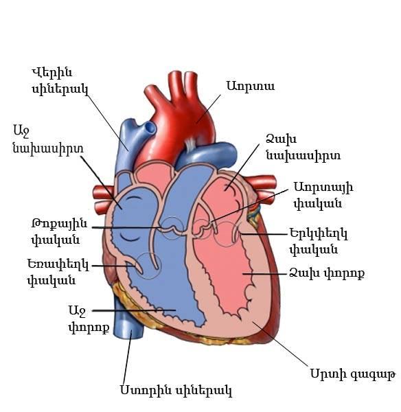 heart anatomy in armenian