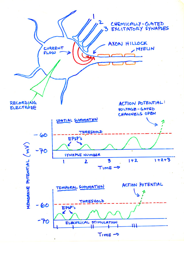 Actions Of Excitatory And Inhibitory Neurotransmitters