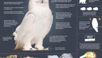 THE SUPERB OWL