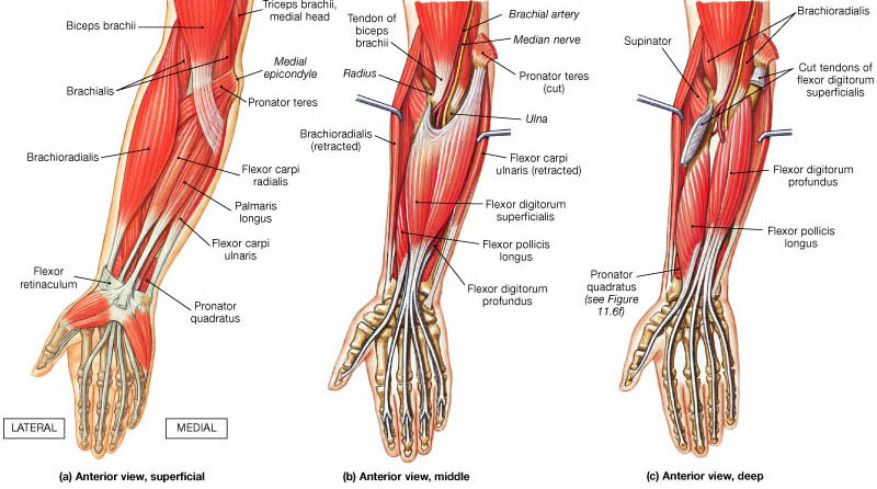 anterior compartment of the forearm