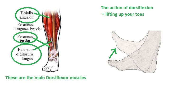 Work on actively bringing the feet/toes up toward your shins.