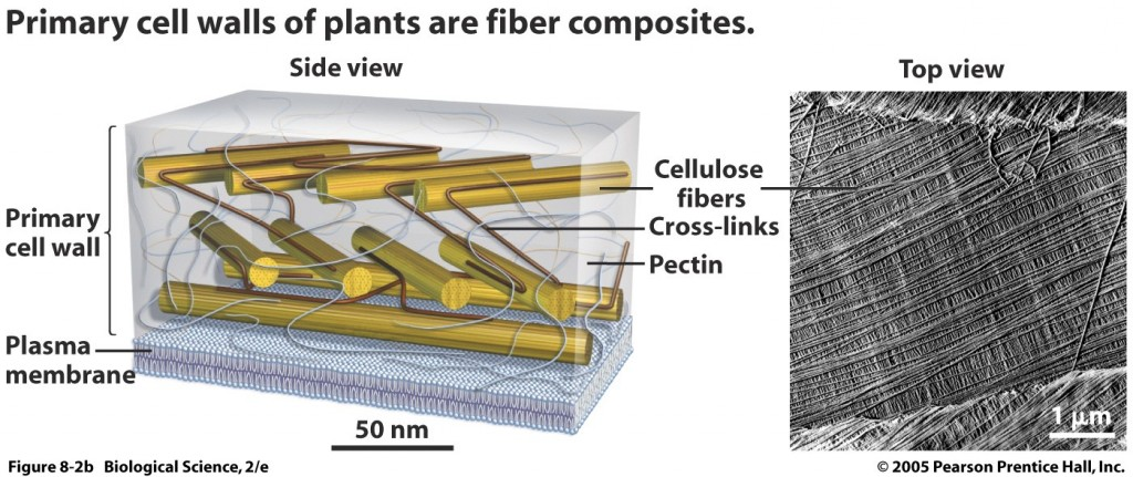 primary cell walls as fiber